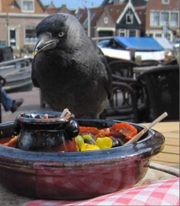 Jackdaw sharing snacks